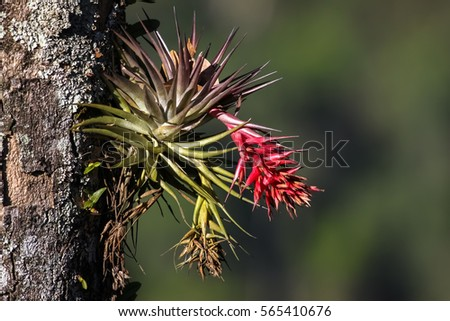 Tropical epiphyte with blossom, Itatiaia, Atlantic Forest, Brazil