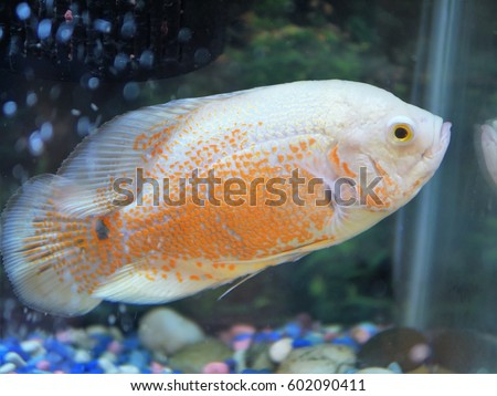 Tropical fish albino tiger Oscar with orange spots swimming in a acquarium #602090411