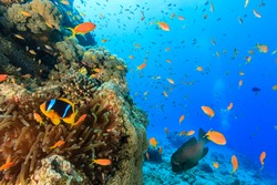 Tropical fish and a clownfish swim around a coral reef