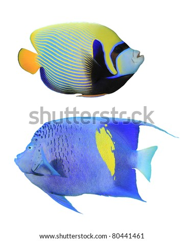 Tropical Fish (Angelfish): Emperor Angelfish (Pomacanthus imperator)(top) and Yellowbar Angelfish (Pomacanthus maculosus)(bottom) isolated on white background
