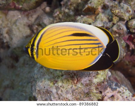 Tropical fish - Blacktail butterflyfish