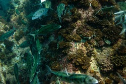 Tropical fish Bluefin Trevally, Caranx melampygus, Seychelles