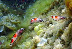 Tropical fish clown-coris or Coris aygula, it is a colorful juvenile or young or tiny small (6-10 cm) live form and it drastically differ morphologically from adult fish of the Labridae family, Red Se