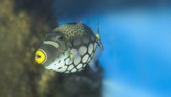 Tropical fish - Clown Triggerfish