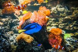 Tropical fish - Clownfish and Blue Tang in the water with corals