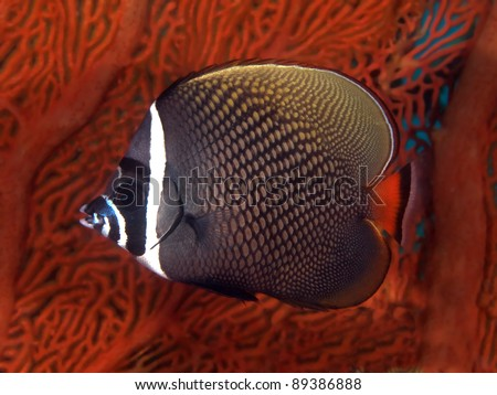 Tropical fish Collare Butterflyfish