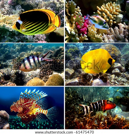 Tropical fish collection, Nemofish, Abudefduf sexfasciatus, Masked Butterfly Fish, Chaetodon fasciatus