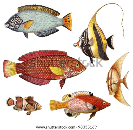 Tropical fish collection - old illustrations isolated on white background / vintage illustrations from Meyers Konversations-Lexikon 1897