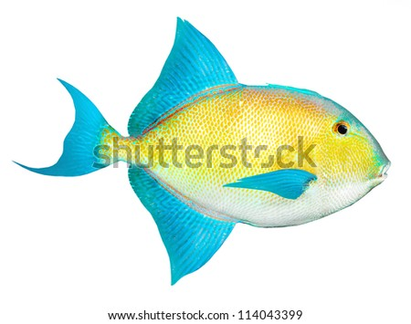 Tropical fish isolated on a white background.