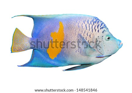 Tropical fish isolated on a white background. The Angelfish (Pomacanthus).