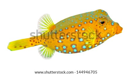 Tropical fish isolated on a white background.  The Yellow  Boxfish (Ostracion cubicus).