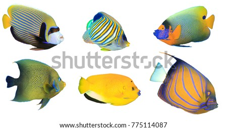 Tropical fish isolated on white background. Angelfish: Emperor, Regal, Yellowmask, Koran, Threespot and Bluering Angelfishes #775114087