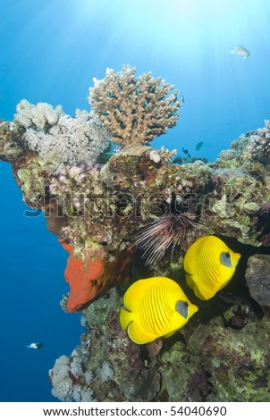 Tropical fish: Masked butterflyfish (Chaetodon semilarvatus) and Clearfin lionfish) Pterois radiata). Naama Bay, Sharm el Sheikh, Egypt.