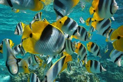 Tropical fish shoal of colorful Pacific double-saddle butterflyfish, Chaetodon ulietensis, underwater close to the camera, Pacific ocean, French Polynesia