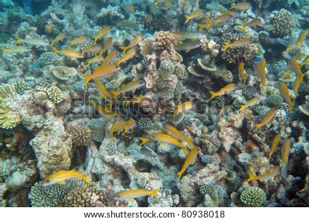 Tropical Fish Swarm (Papua Neuguinea)