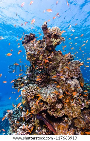 Tropical fish swim around a coral pinnacle on a coral reef - stock photo