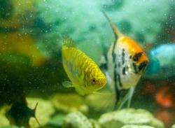 tropical fish swimming in aquarium, exotic scalar fish in aquarium