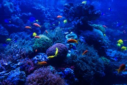 tropical fishes meet in blue coral reef sea water aquarium. Underwater paradise