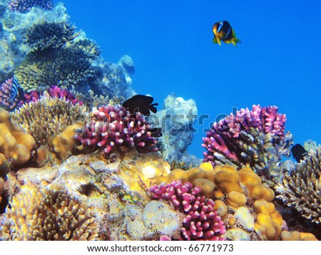 Tropical fishes on the coral reef in Red Sea, Egypt