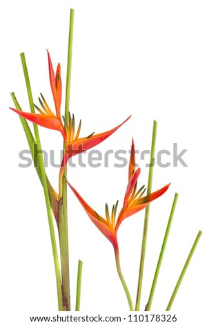 Tropical flower Bird of Paradise, isolated on white background