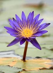 Tropical Flower in wetlands in Uganda - The Pearl of Africa