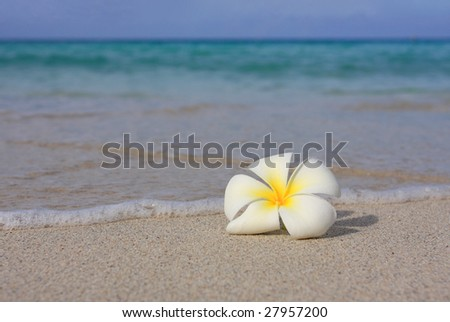 Tropical flower Plumeria alba (White Frangipani) on the sandy beach