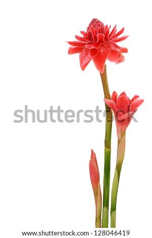 Tropical flower red torch ginger (Etlingera elatior or zingiberaceae), isolated on white background