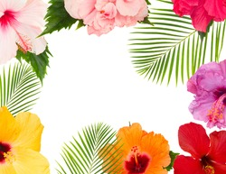 tropical flowers and leaves - frame of fresh multicilored hibiscus flowers and exotic palm leaves isolated on white background