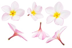 Tropical flowers, Close up of pink Plumeria or Frangipani (Hawaii, Hawaiian Lei Flower, Bali Indonesia, Shri-Lanka Ceylon, Spa). Pink Frangipani flowers isolated on white background with clipping path