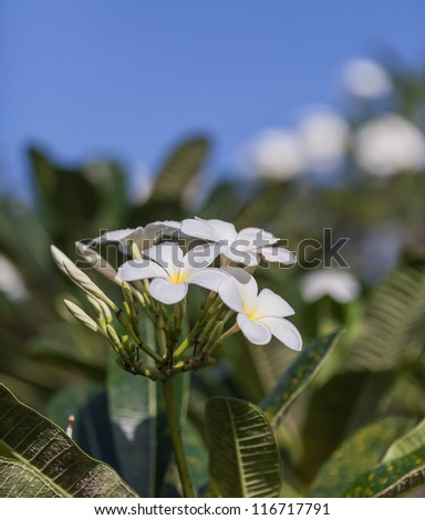 Tropical flowers frangipani
