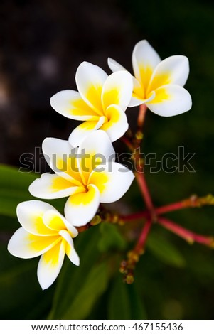 Tropical flowers frangipani plumeria amazing view of yellow tropical flowers frangipani plumeria amazing view of yellow flowers and green grass landscape mightylinksfo
