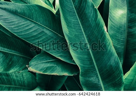 tropical foliage, stripes of large green leaf texture background #642424618