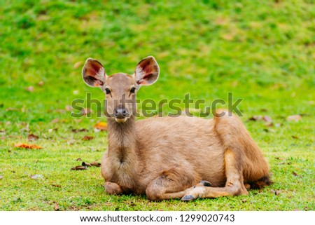 Tropical forest deer in natural tree background of forest in Thailand, animal photo for create wildlife content