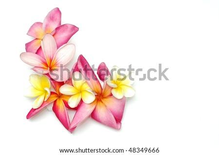 Tropical frangipani border