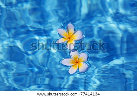 Tropical frangipani flower floating in blue water