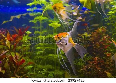 tropical freshwater aquarium with angelfish - stock photo