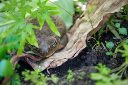 Tropical frog hides in green plants. Mimicry skill of tropical toad. Exotic animal closeup. Tropical fauna in zoo or terrarium. Frog or toad in summer foliage. Summer forest animal. Amphibian photo