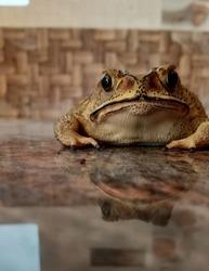 Tropical Frog inhabitant amphibian  of Rajender Nagar of Hyderabad bad Telangana State