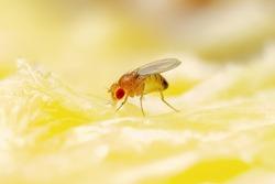 Tropical Fruit Fly Drosophila Diptera Parasite Insect Pest on Ripe Fruit Plant