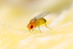 Tropical Fruit Fly Drosophila Diptera Parasite Insect Pest on Ripe Fruit Vegetable Close-up