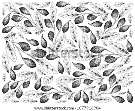 Tropical Fruits, Illustration Wallpaper Background of Hand Drawn Sketch Ripe Chebulic Myrobalan or Terminalia Cebula with Leaves and Fruits Hanging on Tree Branch. High in Vitamin C. Zdjęcia stock ©