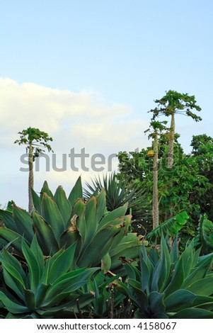 tropical garden with agaves, papaya trees