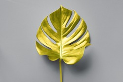 Tropical golden leaf of monstera over grey background. Top view, copy space. Minimal summer concept. Demonstrating trendy Color of the Year 2021. Illuminating Yellow and Ultimate Gray.