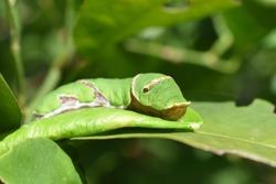 tropical green caterpillar