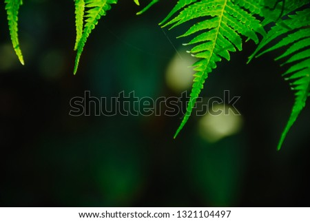 Tropical green fern leaves pattern with dark background. Beautiful background of green fern leaves fern tropical rainforest foliage plant. Concept of natural background and freshness of nature.