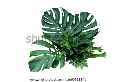 Tropical green leaves forest plant Monstera, fern, and climbing bird's nest fern foliage plants floral bunch for wedding and ceremony decoration isolated on white background with clipping path.