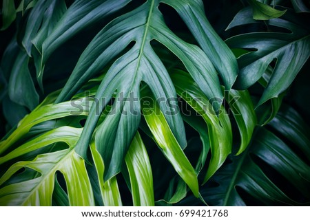 Tropical green leaves on dark background, nature summer forest plant concept stock photo