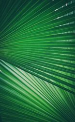 Tropical green palm leaf background,Abstract texture line from nature,vintage tone