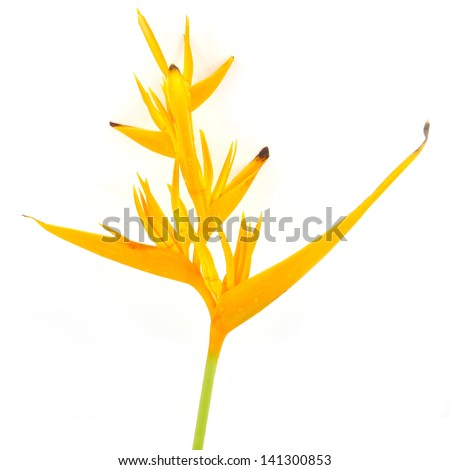 Tropical heliconia flower (Heliconia stricta), isolated on a white background