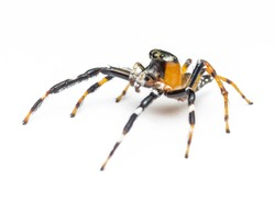tropical jumping spider over white background.